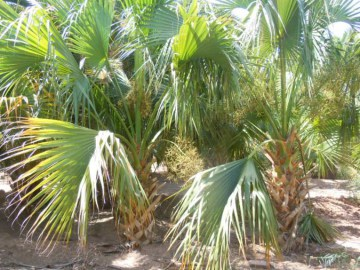 sabal palmetto campo