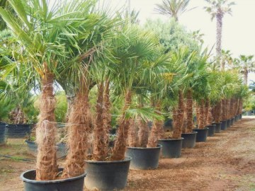 TRACHYCARPUS_FOR_4fa7997761e3c.jpg