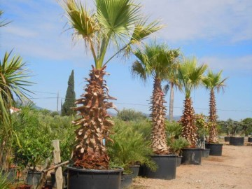 Washingtonia Filífera MACETA
