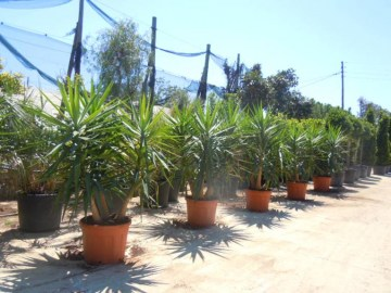 YUCCAS ELEPHANTIPES