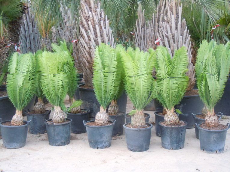 Cycas Dioon