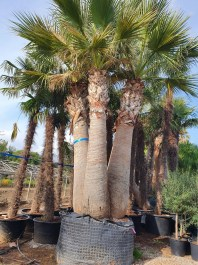 Washingtonia Filífera