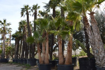 Washingtonia